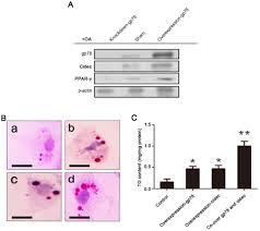 role of glycoprotein 78 and cidec in hepatic steatosis