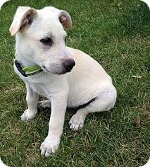 australian shepherd lab puppy gouda adopted puppy greeley co labrador retriever