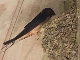 Barn Swallow Eggs Barn Swallow Nests Seasons Flow
