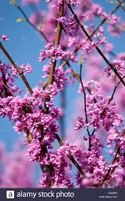 springtime blossoms on a redbud tree in nashville tennessee usa