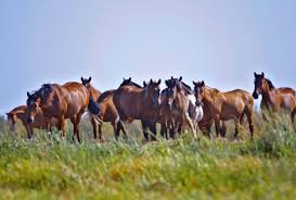 Black Mustang Horse Pictures Wild Horses Find Pasture In Oklahoma News Ok