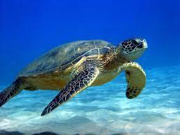 sea turtles surfrider foundation rincon pr