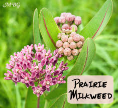 plants native to illinois asclepias sullivantii prairie milkweed for monarch caterpillars