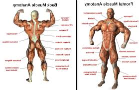 The Human Anatomy Muscles Human Body Muscles Anatomy Ea The Human Body The Body Photo Shared