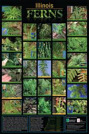 native plants illinois illinois native fern poster 1st page only native plants
