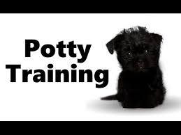 affenpinscher swimming affenpinscher video funnydog tv