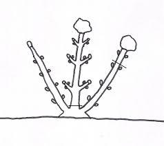potare le ortensie in vaso la potatura delle ortensie soccorso verde
