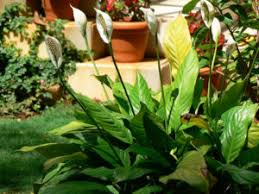 Peace Lily Plant Peace Lily Plant Care Guide U2013 Learn To Grow A Spathiphyllum Kochii