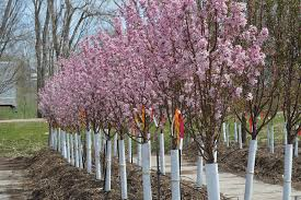 redbud trees omaha landscaping company arbor landscaping