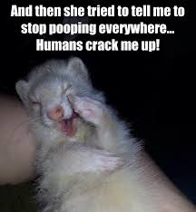 Ferret Meme - stop your ferrets pooping everywhere