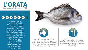 pesci alimentazione l orata pesca habitat alimentazione morfologia