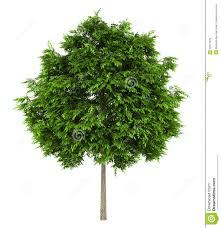 european ash tree isolated on white stock photos image 22571373