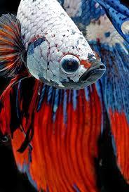 183 best animals fish betta splendens images on pinterest