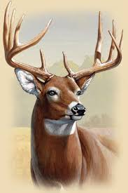whitetail deer facts information photos american expedition