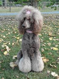 standard poodle hair styles pin by mindi moss on poodle doo pinterest poodle standard