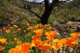 California Poppy How To Propagate Wild California Poppy Seeds Home Guides Sf Gate