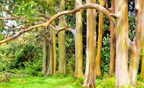 colorful trees rainbow eucalyptus places to see in your lifetime