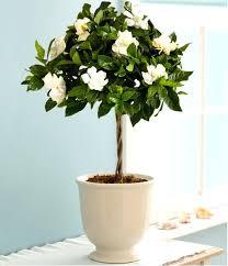 growing gardenias in pots large indoor pot plants uk indoor herb