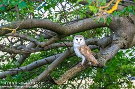 more barn owls whitby wildlife photography whitby photography