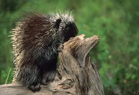 11 prickly facts about porcupines mental floss
