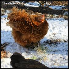 the chicken sprouting grains for chickens fodder for thought