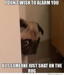 Funny Pug Memes - peeking pug animals pug mugs pinterest memes gifs and dog