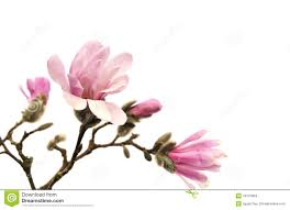 magnolia flowers pink magnolia flowers isolated on white stock photo image of