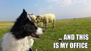 Border Collie Meme - 10 best border collie memes of all time