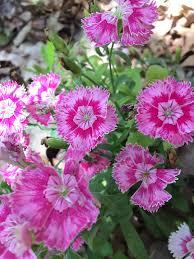 sweet william flowers sweet william flowers free photo on pixabay