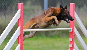 belgian sheepdog pros and cons dog agility competitions how to start science on risks pros u0026 cons