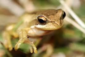 file southern brown tree frog litoria ewingi 8398122968 jpg