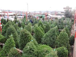 christmas amazing christmas trees buy trees early to get best
