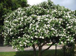 Trees With White Flowers Cordia Jpg