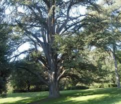 albero giardino albero centenario foto di giardino inglese caserta tripadvisor