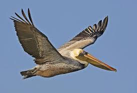 Louisiana birds images Birds of louisiana jpg