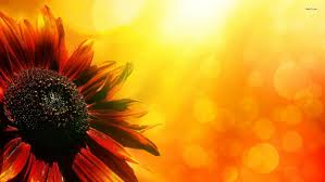 sunflower wallpapers sunflower hd wallpaper 1215000