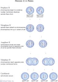 the cell cycle mitosis and meiosis u2014 university of leicester