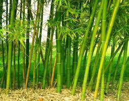 Bamboo Backyard A Battle With Bamboo