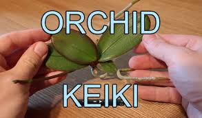 What Is An Orchid Flower - repotting an orchid keiki phalaenopsis orchid keiki youtube