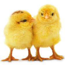 chicken facts for kids all about chickens dk find out