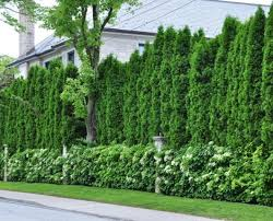 Backyard Privacy Trees Living Privacy Fence Trees Best Idea Garden