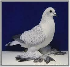 capuchine is a type of fancy pigeon i it is not