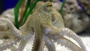 an octopus is the closest thing to an alien here on earth u2014 quartz
