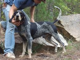 bluetick coonhound for sale in va started dogs at bluetick 1 kennels bluetick1kennels www