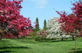 Botanical Gardens Niagara Falls Cherry Blossom Trees At Niagara Parks Botanical Gardens Picture