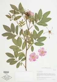 which plant was native to the new world why a herbarium of 7 8 million plants is one of new york u0027s most