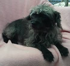 affenpinscher terrier mix cady terrier humane society of dallas county
