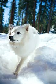 Living With A Blind Dog American Eskimo Dog Breed Information Pictures Characteristics
