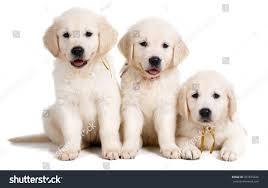 three small cute golden retriever puppy stock photo 331679426
