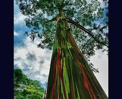 living rainbow rainbow eucalyptus most beautiful tree bark on